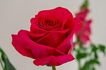 close-up van een felrode fraai gevormde  roos van Rita Phessas