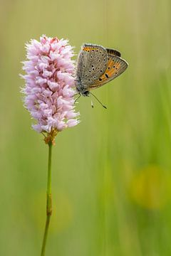Brauner Schmetterling auf einer Natternwurzel bei Sonnenaufgang von Thijs van den Burg