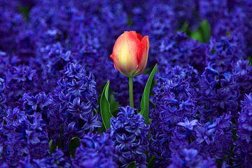 Rode tulp tussen paarse hyacinten van Discover Dutch Nature