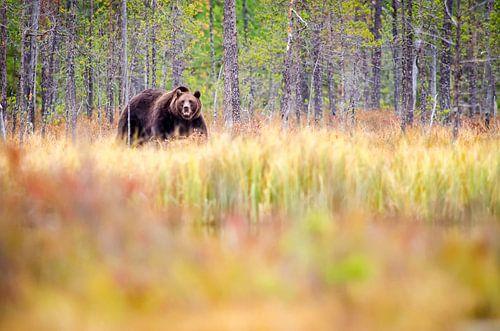 Bear on the prowl van Hans van Gurp