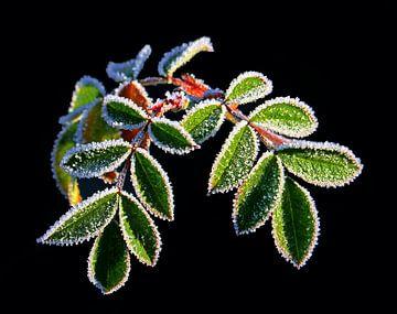 Eiscreme-Pflanzen (gefrorene Blätter) von Caroline Lichthart