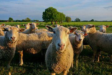 neugierige Schafe von Robin Hendriks