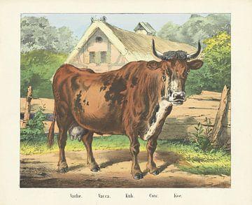 Koe, Firma Joseph Scholz, 1829 - 1880