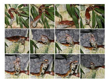 Korenslang / Pantherophis guttatus van Sylvia Molenberg