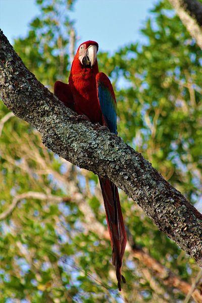 Papagei im Baum von Christiaan Van Den Berg
