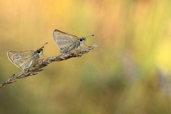 Twee vlinders op een grashalm van Gonnie van de Schans