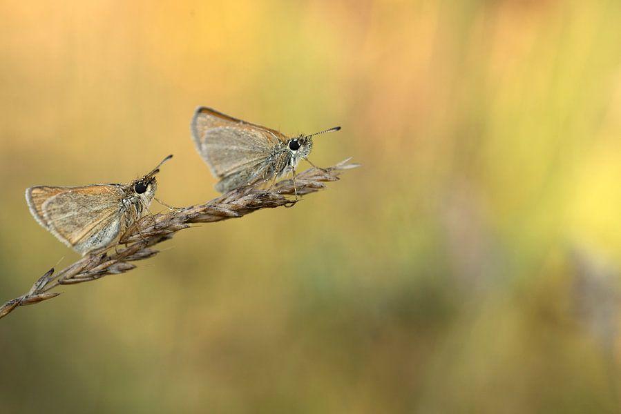 Twee vlinders op een grashalm