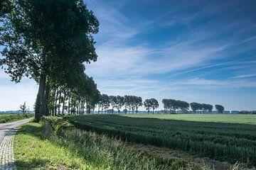 Bomenrij in de ochtendzon aan de Torenweg in Groede sur Nico de Lezenne Coulander