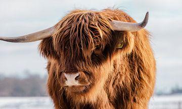 Porträt einer schottischen Highlander-Kuh von KB Design & Photography (Karen Brouwer)