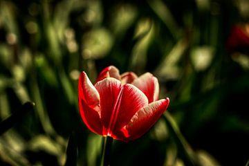 Wilde Tulpen op de Veluwe van Liberty Ragazza Biesma