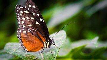Vlinder van Sybren Visser