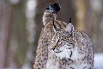 Lynx 2 van Etienne BRUNELLE