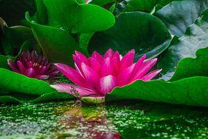 Roze Lely van
