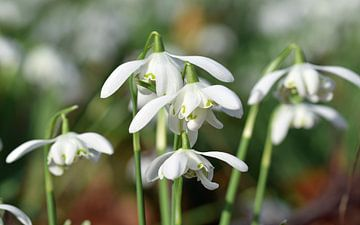 Schneeglöckchen stehen in voller Blüte von Robin Verhoef