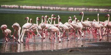 Afrika | Kleine flamingo's - Tanzania van Servan Ott