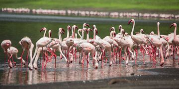 Afrique | Petits flamants roses - Tanzanie sur Servan Ott