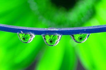 Triplet Gerbera (vert) sur Jacqueline Gerhardt