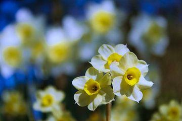 Frühlingsblumen (Narzissen) von Frans Roos