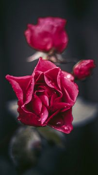 Rode rozen van AciPhotography