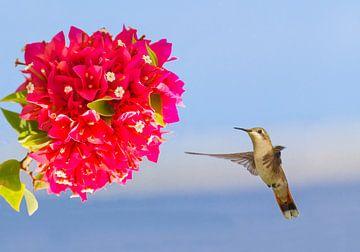Kolibri schwebt in der Luft vor roter Blume von Ben Schonewille