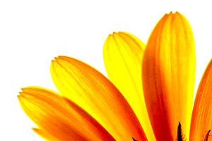 Gele margriet bloemblaadjes macro van