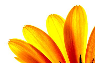 Gele margriet bloemblaadjes macro van Brian Raggatt