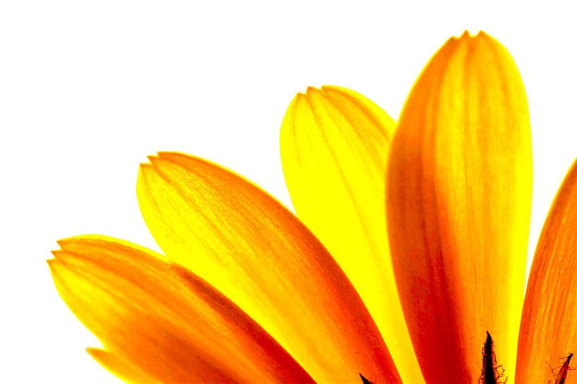 Yellow daisy Petals Macro sur Brian Raggatt