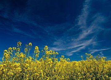 Gelber Raps und blauer Himmel von Rico Ködder