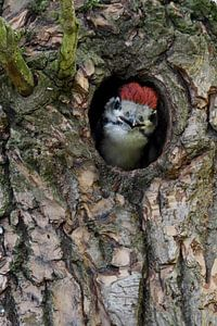 Great Spotted Woodpecker ( Dendrocopos major ), juvenile, watching out of nest hole