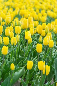 gele tulpen in Holland van Patrick Verhoef