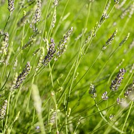Paarse lavendel in het groene gras   Natuurfotografie van Diana van Neck Photography