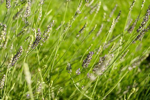 Paarse lavendel in het groene gras   Natuurfotografie