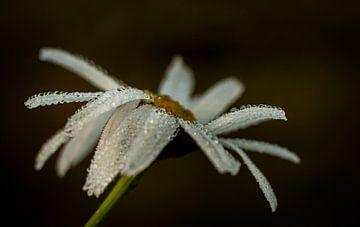 Ochtenddauw op een bloem