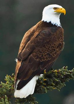 Bald Eagle van Max Steinwald
