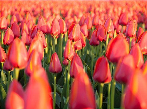 Tulpenzee van