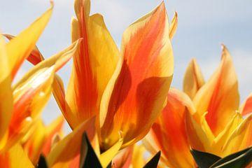 Tulp van Rick van Zelst
