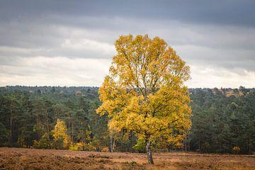 Berkenboom op de heide in de herfst in de Loenermark van Sjoerd van der Wal