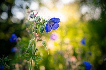 Blume in der Morgensonne von Alvin Aarnoutse