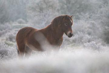 Exmoorpony op een winterse ochtend van Kim de Groot