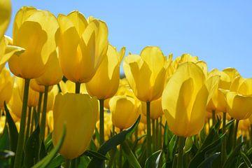 Gele tulpen Lisse van My Footprints