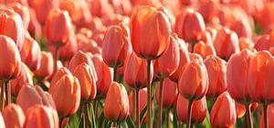 Roze/Oranje Tulp in Holland van