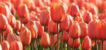 Roze/Oranje Tulp in Holland van O uwehand