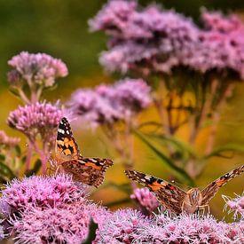 vlinders van Nico Dam