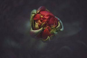 Macro Red Tulip