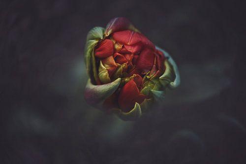 Macro Red Tulip van