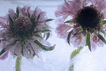 Zonnebloem in ijs 3 van Marc Heiligenstein