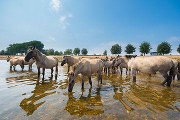 Konikpaarden in het water van