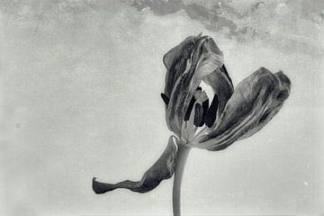 Tulpe 3/4 Quadrant von Beitske Kempenaar