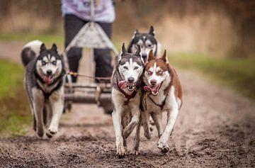 Siberian Husky van Hamperium Photography