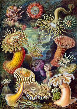 Actiniae, Ernst Haeckel